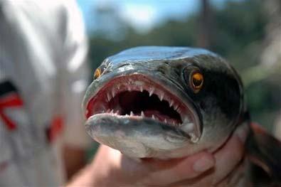 Photo of Ikan gabus sangat rakus dan bisa bertahan tiga hari di darat