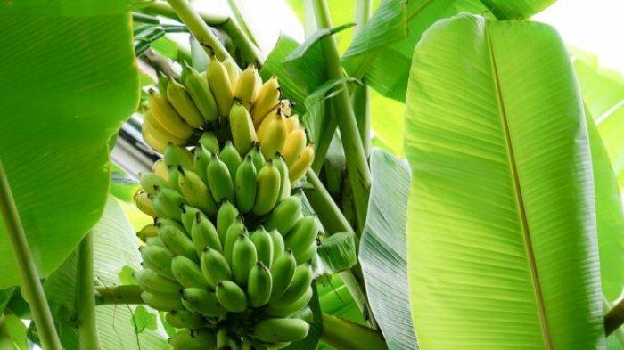 Photo of 5 Manfaat Daun Pisang untuk Kesehatan, Lindungi Tubuh dari Penyakit
